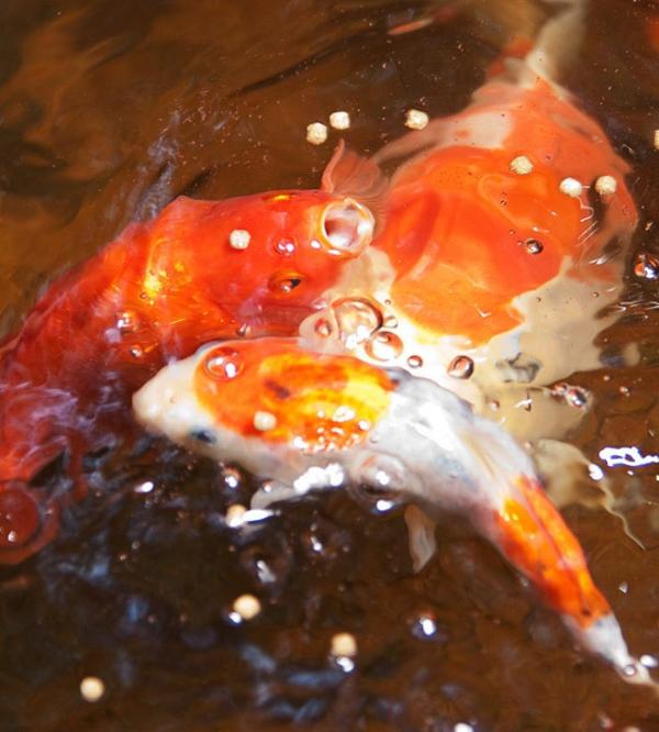 Gartengestaltung Teich Fische