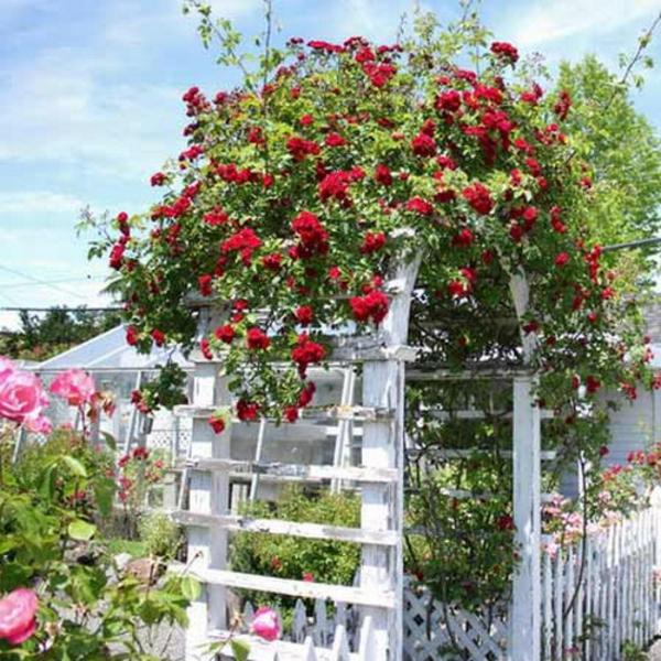 weiß gartenbogen rote rosen