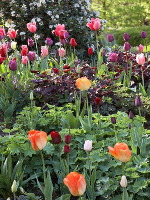 einladender vorgarten idee tipps tulpen frühling