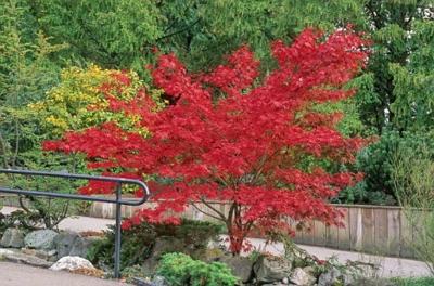 engen Raum im Garten rot blätter baumkrone