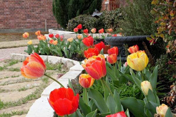 frühlingsstimmung im garten rote tulpen fußweg pfad