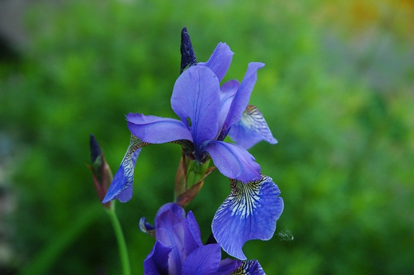garten regenwasser blaue schwertlilie blumen pflanzen