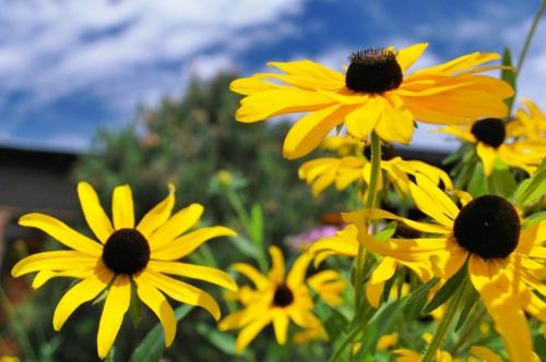 gartengestaltung tricks und tipps sonnenblumen
