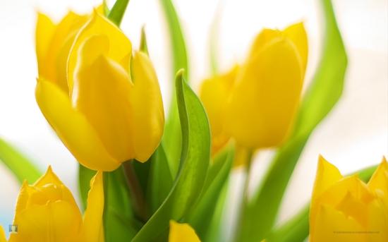 gartengestaltung tipps blumenzwiebel pflege tulpen gelb