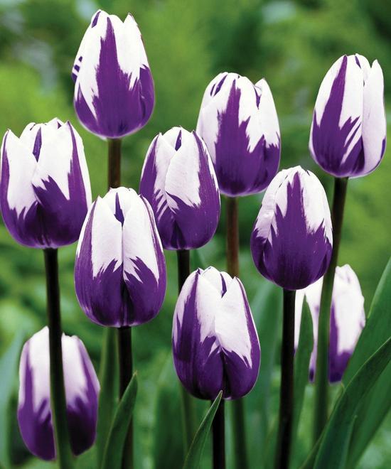 gartengestaltung tipps blumenzwiebel tulpen weiß lila