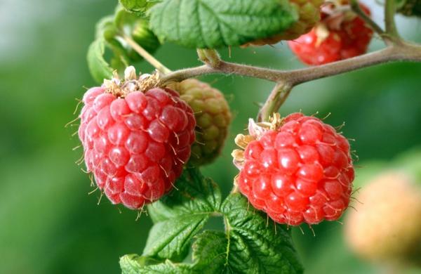 himbeeren im garten einpflanzen ideen köstliche früchte