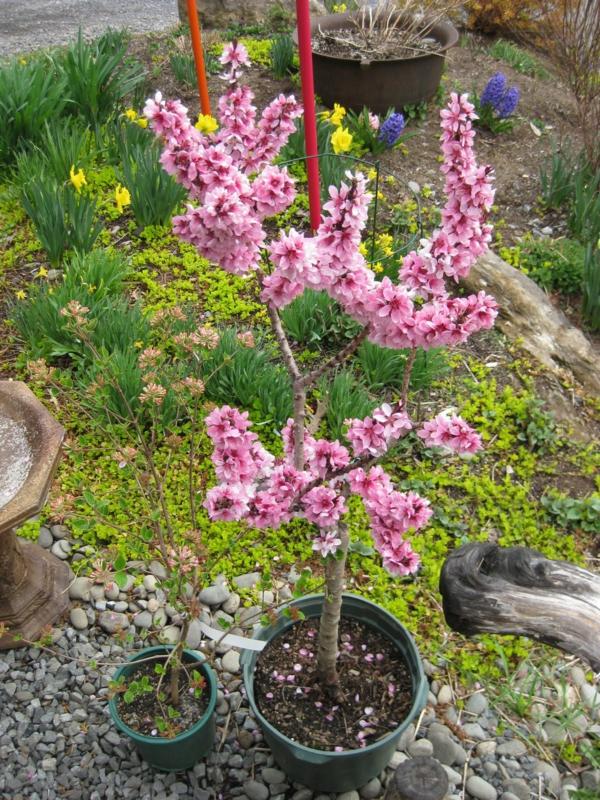 pfirsichbaum im garten pflanzen blumentopf erfolgreich