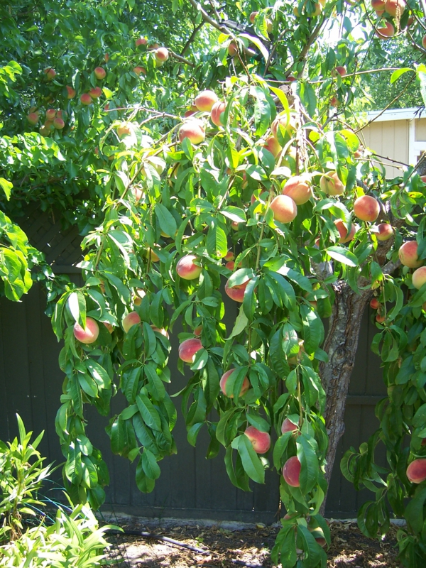 pfirsichbaum im garten pflanzen blumentopf früchte