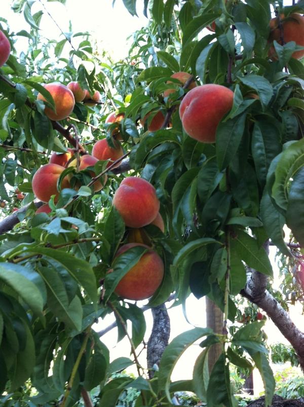 pfirsichbaum im garten pflanzen köstlich