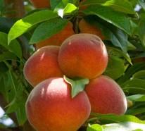 Wie kann man einen Pfirsichbaum im Garten pflanzen und richtig schneiden