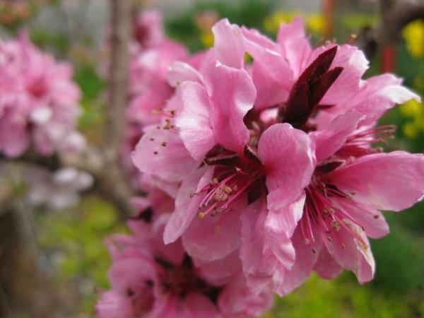 pfirsichbaum im garten pflanzen rosa blüte
