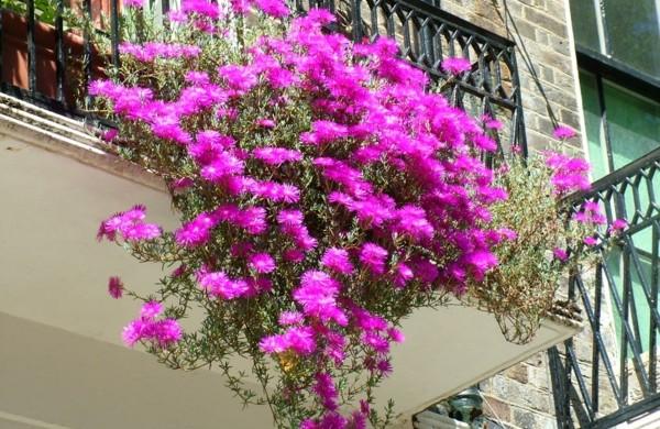 Blumen fr den balkon: balkonblumen.