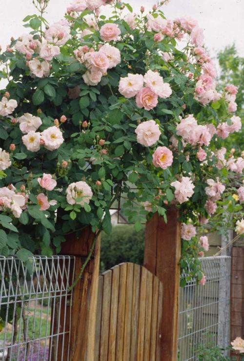 rosengarten richtig pflegen rosa angenehm zaun tür