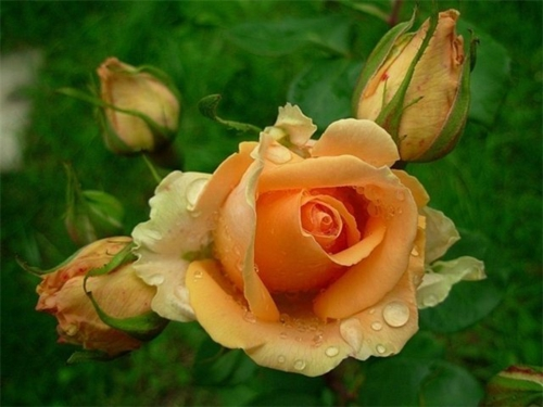 rosengarten richtig pflegen rosa orange