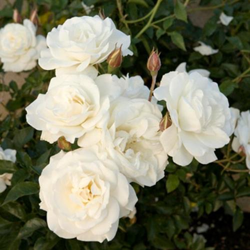 rosengarten richtig pflegen weiße rosen blumen