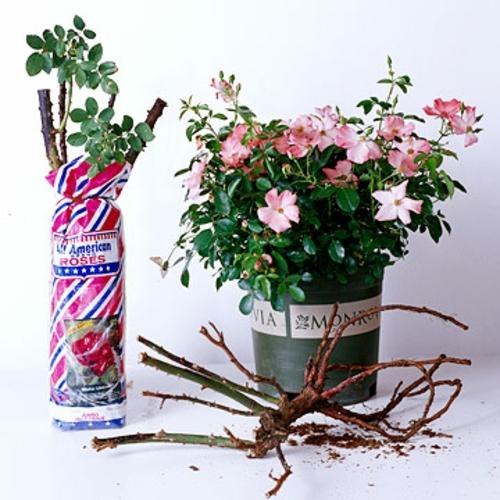 rosengarten richtig pflegen weiße rosen idee