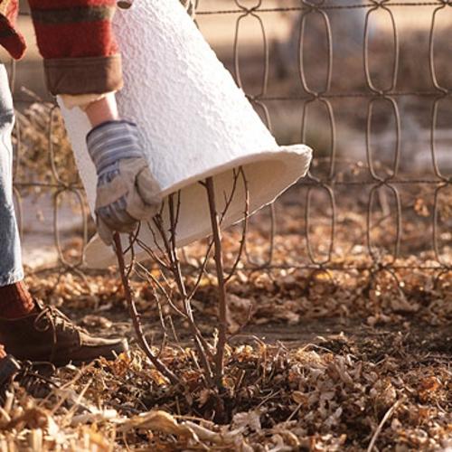 rosengarten richtig pflegen weiße winter