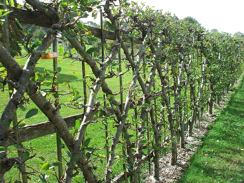 spalier bauen bäume muster diamant grün zaun