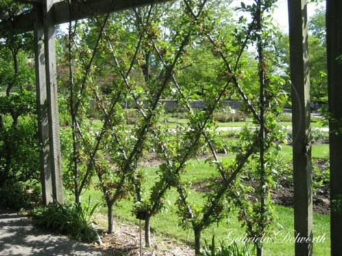 spalier bauen bäume muster diamant grün
