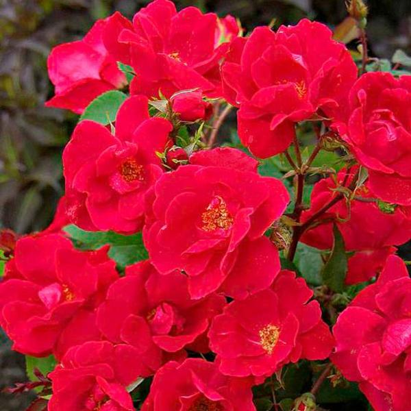 top garten fragen antworten blüten buschig rosen
