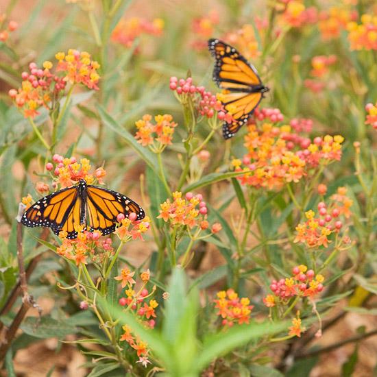 wilden lebensraum im garten orange schmetterling nektar