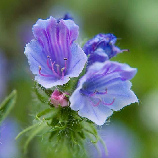 die schönsten blauen blumen im garten bellflower