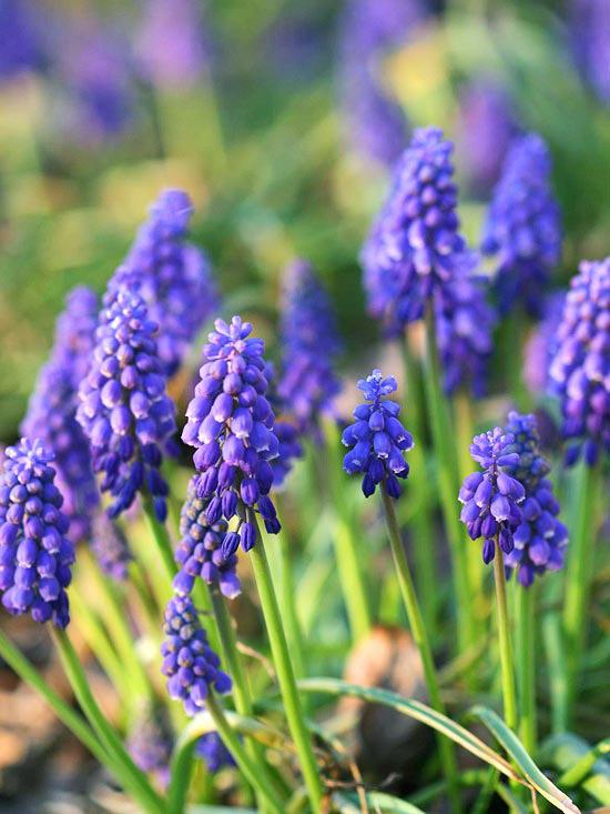 die schönsten blauen blumen im garten grape hyacinth