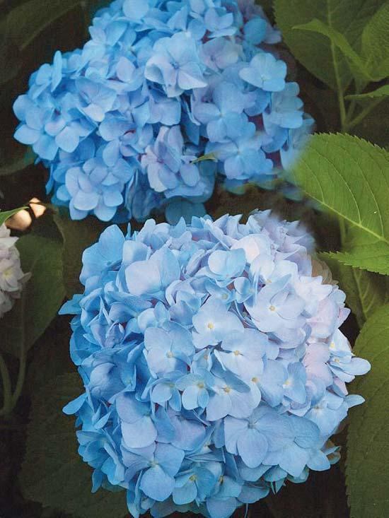 die schönsten blauen blumen im garten blue Hydrangea