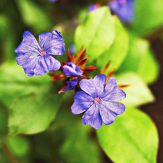 die schönsten blauen blumen im garten lead pflanze