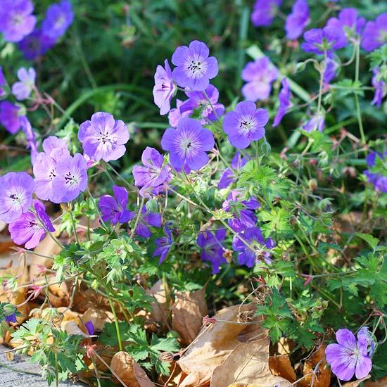 die schönsten blauen blumen im garten perennial geranium