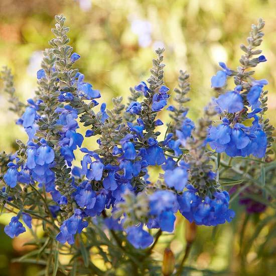 die schönsten blauen blumen im garten salvia