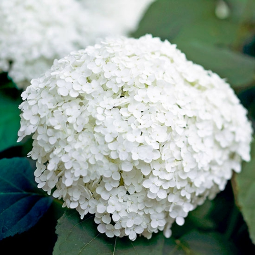 die schönsten weißen blumen im garten anbauen annabelle hydrangea