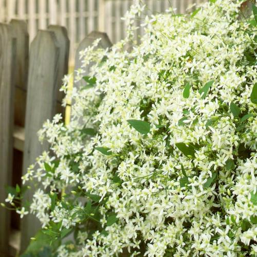 die schönsten weißen blumen im garten anbauen clematis