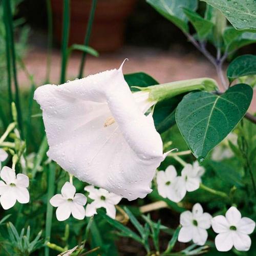 die schönsten weißen blumen im garten anbauen datura