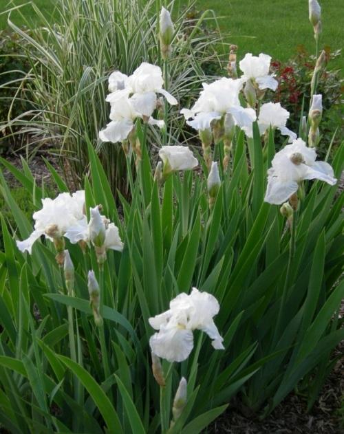 die schönsten weißen blumen im garten anbauen immortality iris