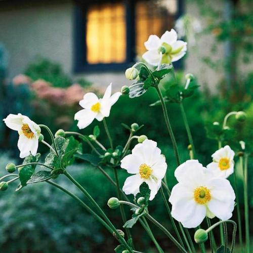 die schönsten weißen blumen im garten anbauen japanische anemone