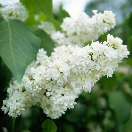 die schönsten weißen blumen im garten anbauen lilac