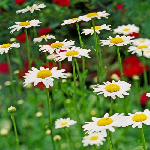 die schönsten weißen blumen im garten anbauen shasta daisy