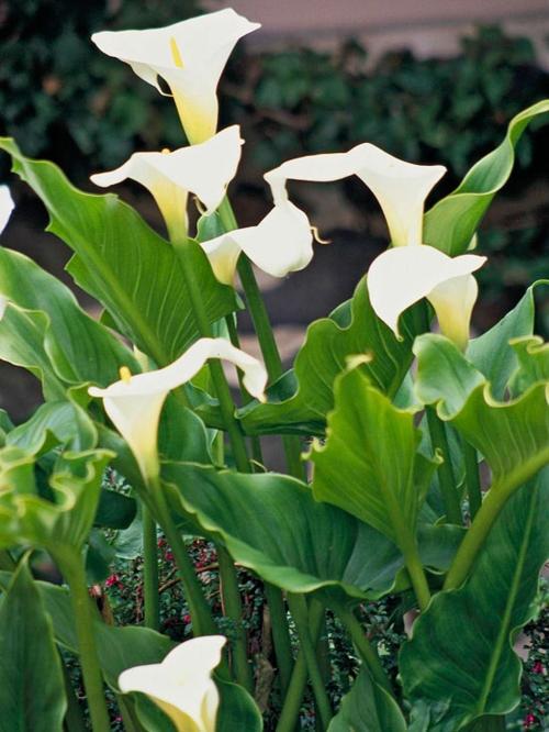 die schönsten weißen blumen im garten calla