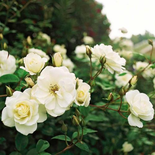 die schönsten weißen blumen im garten iceberg rose