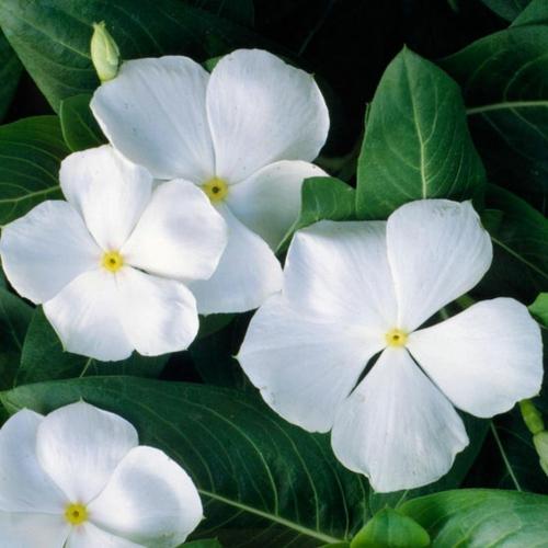 die schönsten weißen blumen im garten vinca