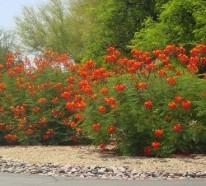 Rote Blüten im Garten – roter Pfauenstrauch