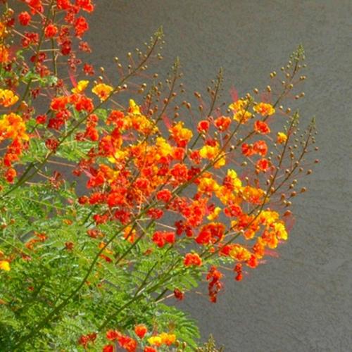 Rote Blüten im Garten roter Pfauenstrauch landschaft gelb