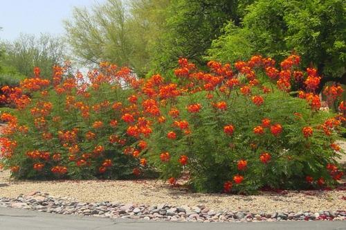 Rote Blüten im Garten roter Pfauenstrauch landschaft