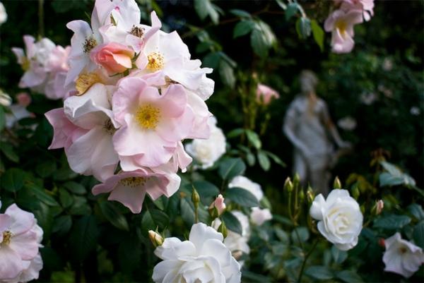 sommer im garten mit tollen rosa in hellen nuancen