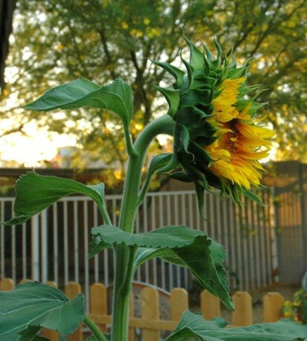 sommer im garten sonnenblumen wärme und stolz