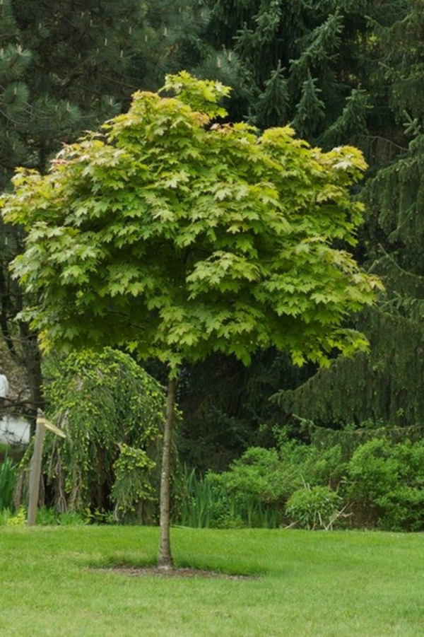 struktur im garten hellgrüne blätter ahorn