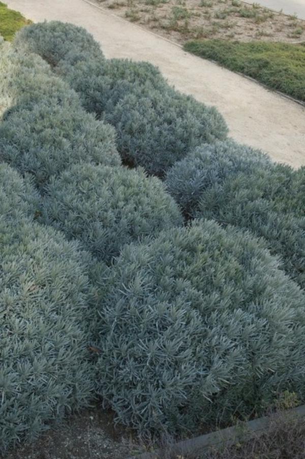 struktur im garten lavendel für schöne aroma