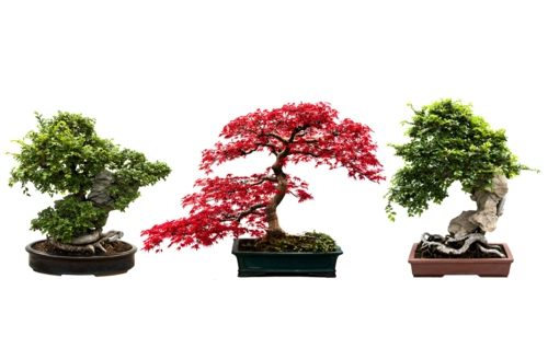 der bonsai baum im interior design eine kunst verwurzelt in harmonie. Black Bedroom Furniture Sets. Home Design Ideas