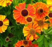Eine tolle Zierpflanze: Mit Sonnenbraut blüht Ihr Garten den ganzen Sommer lang!